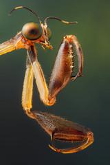 Mantidfly (andredekesel) Tags: mantidflies mantispids mantispidae neuroptera focusstacking insectfocusstacking stagedinsects benin niaouli