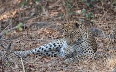 Clean paws (Tris Enticknap) Tags: africa zambia cat southluangwa africanleopard leopard pantherapardus pantheraparduspardus
