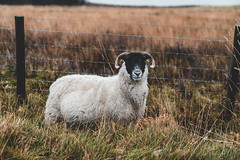 Highland Sheep (Octal Photo) Tags: 500px sheep farmhouse grazing pasture rural scene outdoors grass field green fence countryside country meadow animals highland dunkeld scotland unitedkingdom