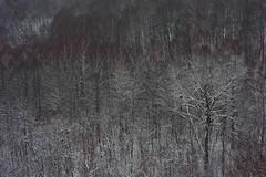 blossom in winter (Mindaugas Buivydas) Tags: lietuva lithuania color winter december snow tree trees birch neriesregioninisparkas nerisregionalpark rivervalley mindaugasbuivydas