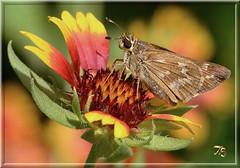Skipper On Gallardia (Vidterry) Tags: butterfly skipper gallardia nikond7000 nikkor105mmmicro 12500thf11 ev10 handheld