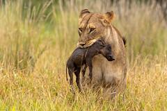 Lion hunts Warthog (Wim Hoek) Tags: landroofdieren knobbelzwijn big zimangagamereserve mammals leeuw afrika africa carnivora commonwarthog lion pantheraleo phacochoerusafricanus piglet pigling predator vlakvark warthog zoogdieren uphongolonu kwazulunatal southafrica za