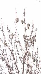 ''Jaseur de cartier!''Jaseur boréal-Bohemian-Waxming (pascaleforest) Tags: ambiance oiseau bird animal passion nikon nature wild wildlife faune québec canada