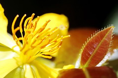 Mickey Mousse en plein soleil à Tahiti (Christian Chene Tahiti) Tags: canon 6d paea tahiti fleur feuille flore ochne mickeymousse yeuxdechat urticante jaune soleil lumière lumièrecrue hardlight macrolens orange rose vert blanc macro plante nature bokeh closeup