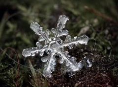 12feb19D (peterobrien186) Tags: snow snowflake snowcrystal moss whitelight winter ice nature macro