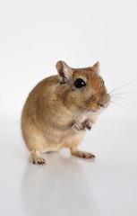 Ramsay (Heidi H. Alakoski) Tags: gerbil pet animal animals pets gerbils macro sony alpha a77