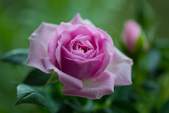 rose 1711 (junjiaoyama) Tags: japan flower plant rose purple winter macro bokeh