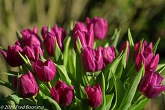 """Spring on our garden terrace, """"Dutch Tulips"""" (Fred / Canon 70D) Tags: ef100mmf28lmacroisusm canon canon70d canoneos dutchtulips tulp tulpen eefde closeup garden spring flowers"""