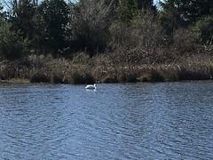 American White Pelican (rudyg39) Tags: camdenlake elkgrove americanwhitepelican
