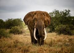 """Umoja""... (momathew) Tags: loxodonta loxodontaafricana africanelephant bull pachyderm tusker juggernaut safari kenya amboseli selenkay wildlifeafrica umoja"