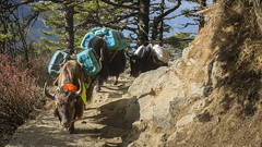 Herd of yaks (Alexis Rangaux) Tags: yak nepal népal animals travel travellers nature fantasticnature ngc landscape scenedevie