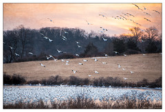 Snow Geese on the Approach (GAPHIKER) Tags: snowgeese snow geese flock uppermountbethel texture lenabemanna sunrise morning