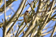 _MG_2282 (Nekogao) Tags: bird birds uk ukbirds britishbirds 鳥 鳥類 イギリス 自然 nature wildlife goldfinch europeangoldfinch finch passerine ゴシキヒワ