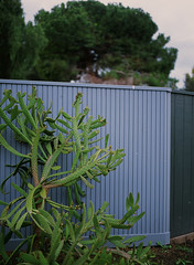 Mountain View, California (bior) Tags: pentax645nii pentax645 provia provia100f fujifilmprovia 6x45cm slidefilm mediumformat 120 mountainview suburbs residential fence cactus