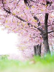PhoTones Works #11499 (TAKUMA KIMURA) Tags: photones olympus omd em1x takuma kimura 木村琢磨 木村 琢磨 風景 景色 自然 landscape nature snap 梅 plum 花 flower 桜 cherry blossom 車 car