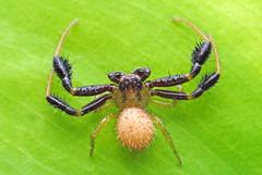 Synaemops sp (Alvaro_L) Tags: nikon micronikkor55mm35 spider crabspider araña arañacangrejo thomisidae strong legs araneae arthropod artópodo arachnida