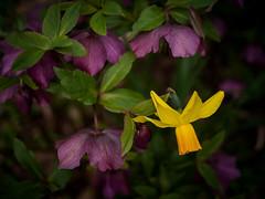 daffodil and hellebore (marinachi) Tags: spring daffodils helleborus purple lookingcloseonfriday bokeh yellow green closeup bokehinflora