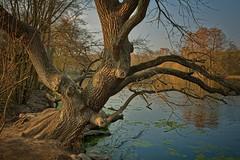 Im Oberwald (nordelch61) Tags: deutschland hessen heimat darmstadt steinbrückerteich mühlbach baum wald bach wurzeln äste stamm zweige rinde märchenhaft forest fairytale enchanted tree roots wasser