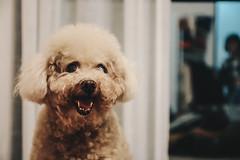 _MG_3029 (waychen_c) Tags: taiwan newtaipei newtaipeicity luzhou luzhoudistrict dog poodle caniche 台灣 新北 新北市 蘆洲 蘆洲區 狗 犬 貴賓犬 紅貴賓 イヌ 妞妞 cebutour2019 2019宿霧旅行