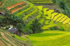 _Y2U2718.0918.Cầu Ba Nhà.Chế Cu Nha.Mù Cang Chải.Yên Bái (hoanglongphoto) Tags: asia asian vietnam northvietnam northwestvietnam northernvietnam landscape scenery vietnamlandscape vietnamscenery mucangchailandscape terraces terracedfields seasonharvest house home hillside curve abstract canon canoneos1dx tâybắc yênbái mùcangchải chếcunha cầubanhà phongcảnh ruộngbậcthang ruộngbậcthangmùcangchải mùcangchảimùagặt mùcangchảimùalúachín ngôinhà nhà sườnđồi đườngcong trừutượng canonef70200mmf28lisiiusm