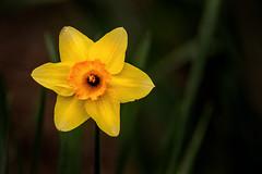 Daffodil at NZ 3-0 F LR 4-9-19 J110 (sunspotimages) Tags: flower flowers daffodil daffodils yellow yellowflower yellowflowers yellowdaffodil yellowdaffodils nature