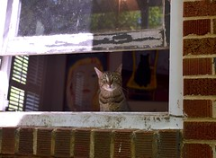 Cricket through the open window (rootcrop54) Tags: cricket male mackerel tabby cat openwindow window brick thestripes neko macska kedi 猫 kočka kissa γάτα köttur kucing gatto 고양이 kaķis katė katt katze katzen kot кошка mačka gatos maček kitteh chat ネコ