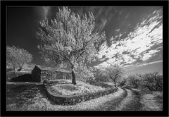 blooming almendros in infrared, La Palma (Dierk Topp) Tags: a7r bw ilce7r ir laowa1018mmf4556fezoom sonya7r sonya7rir almendros architecture canaryislands infrared islascanarias lapalma monochrom sw sony