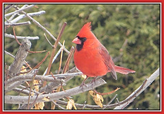 Spring Cardinal (bigbrowneyez) Tags: springcardinal beautiful bird nature natur red feathers wings bright lovely uccello bello frame foto cornice chilling branches tree smoketree fabulous pretty striking bokeh sweet dolce model