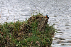 Kingfisher on the River Aire (Basil Parylo) Tags: kingfisher river aire