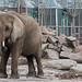 African Elephant at Tierpark Berlin