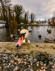 Are those feed pellets? (Mister Electron) Tags: muteswan swan birds waterfowl water broad ranworth ranworthbroad norfolk eastanglia uk birdfood inquisitive hungry cygnusolor ornithology wideangle ultrawideangle lowviewpoint lowperpspective