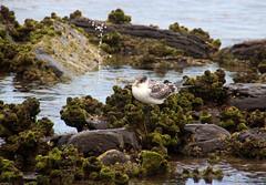 Crested Tern with sea squirt, Towradgi Beach (RossCunningham183) Tags: towradgibeach crestedtern tern bird beach wollongong australia seasquirts cunjevoi rockpool intertidalzone