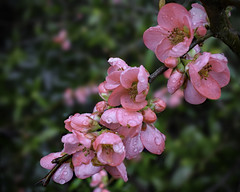 Flowers in January (Jocelyn777) Tags: flowers plants waterdrops gardens textured macro quince blossom quinceflowers