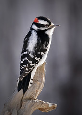 A6306110 (mbisgrove) Tags: downy woodpecker bird feathers sel100400gm a6300 ontario sony
