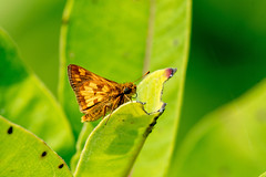 2017 Peck's Skipper (Polites peckius) 2 (DrLensCap) Tags: pecks skipper polites peckius weber spur trail labagh woods chicago illinois abandoned union pacific railroad right way il bug insect butterfly robert kramer