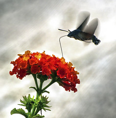 feeding insect in flight. (Photography by Peter Stanford) Tags: wildlife insect natuaral history flower fly flying professional