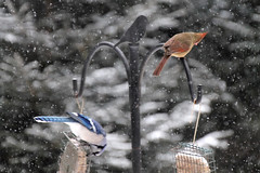 sharing space ~ plenty for all (karma (Karen)) Tags: baltimore maryland home backyard birds feeders bluejay cardinal snow dof bokeh