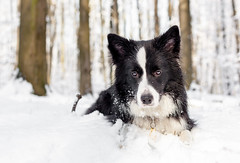 Raksa (czypek) Tags: dog bordercollie nature outdoor hiking pet animal gliwice lasdabrowa snow forest wood canon