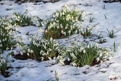 Snow-drops (Maria-H) Tags: snow snowdrops flower winter wintergarden dunhammassey cheshire uk olympus omdem1markii panasonic 100400