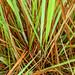 2012-07-07 TEC-7070052 Schizachyrium sanguineum - E.P. Mallory