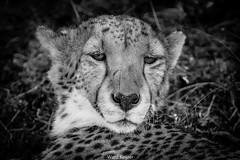 Cheetah at ease (wardkeijzer_107) Tags: cheetah cats blackwhite zwartwit nikon portrait animal animals big5 safari wildlife national southafrica zuidafrika