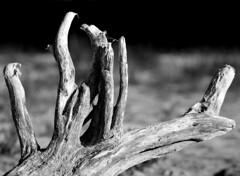 Munich - Driftwood (cnmark) Tags: germany deutschland bavaria bayern münchen munich flaucher driftwood treibholz tree baum root wurzel bw black white schwarzweiss nature ©allrightsreserved