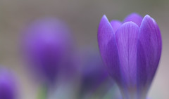A Promise For Spring (AnyMotion) Tags: crocus krokus blossom blüte bokeh macro makro makroaufnahmen 2019 floral flowers frankfurt garden garten plants anymotion winter hiver invierno colours colors farben purple lila 6d canoneos6d ngc