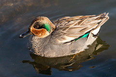 sarcelle d'hivers (juju120779) Tags: oiseaux bird animalier sarcelledhiver canard duck eau water