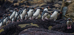 Penguins on Parade (Tim Melling) Tags: eudyptes chrysocome southern rockhopper penguin saunders island falkland islands timmelling