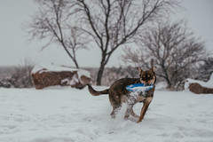 Stella playing with her frisbee (M///S///H) Tags: lenstagger dog doggo freshsnow frisbee play playing playtime pup pupper snow snowing