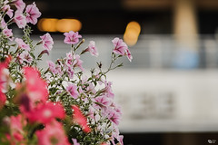 Dạ yến thảo (Petunia) (luongsangit58) Tags: fujifilmxt10 fujifilm fuji hoa xt10 135mm minolta flower