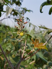 Ricinus communis L. Euphorbiaceae: castor bean, ละหุ่ง (SierraSunrise) Tags: esarn isaan nongkhai phonphisai thailand plants flowers shrubs ricinus euphorbiaceae