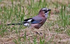 Garrulus glandarius (Hugo von Schreck) Tags: hugovonschreck garrulusglandarius bird vogel fantasticnature canoneos5dmarkiii tamronsp150600mmf563divcusda011