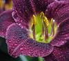Fun shooting. (Omygodtom) Tags: flower flickr flora lily mist dew texture tamron90mm tamron macro bokeh dof d7100 nature nikkor flickriver existinglight